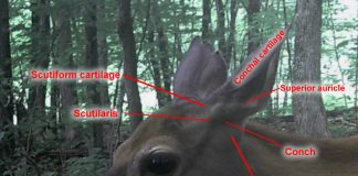 Whitetail deer ears