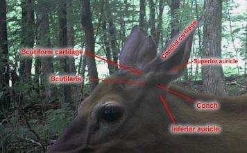 Whitetail deer ears