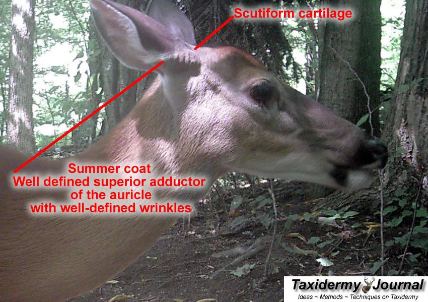 Understanding Whitetail Deer Ears by Taxidermist CJ Herring